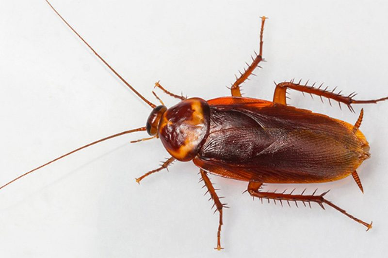 alman hamam böceği, hamam böceği ilaçlama, hamam böceği nasıl ilaçlanır