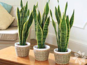 ev havasını temizleyen çiçek türleri, hangi çiçekler ev havasını temizler, evin havasını temizlemeden çiçeklerin faydası