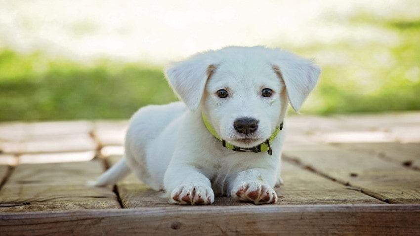 köpek yavrusu eğitme, köpek yavrusu nasıl eğitilebilir, köpek eğitimi türleri
